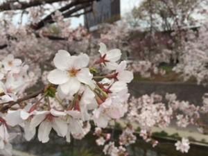 2016.3.31山崎川